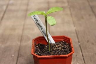 sunflower-1-seedling